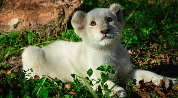 Animal World & Snake Farm Zoo welcomes rare white lion cubs