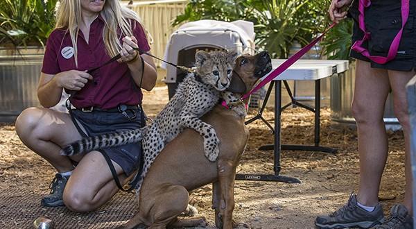 Too cute! Cheetah cub and puppy companion at San Diego Zoo Safari Park