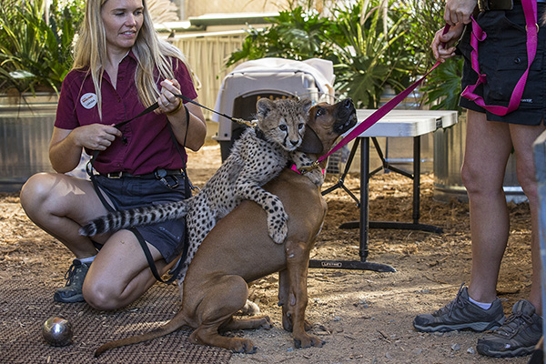 too cute cheetah cub and puppy companion at san diego zoo safari