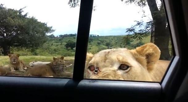 Oh heck no!  Lion opens family's car door at safari park