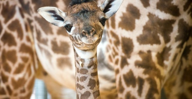 Houston Zoo stands a little taller: Masai Giraffe is latest newborn