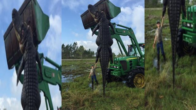 Florida hunters cross paths with big 'ole gator
