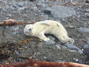 Ravioli the Harbor Seal Pup found on beach