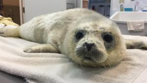 Ravioli the Harbor Seal Pup was Rescued and Received Treatment by a Marine Mammal Center in California