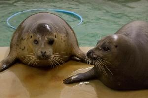 Rescued Harbor Seal Pups Tomato and Ravioli are Settling in Well at Their New Home at Moody Gardens Aquarium Pyramid