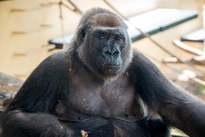 Western Lowland Gorilla Angel-0006-4397