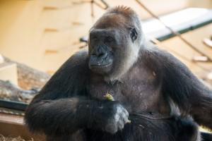 Western Lowland Gorilla Angel-0007-4410