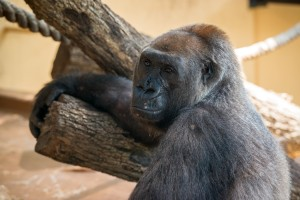 Western Lowland Gorilla Angel-0008-4437