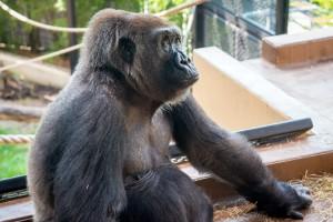 Western Lowland Gorilla Angel-0009-4466